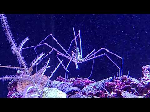 Adding Arrow Crabs To A Reef Tank To Help Control The Bristle Worm Population