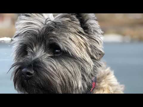 Lehigh Valley Dog Trainers: Off Leash K9 Training ||| 1 1/2 yr old Cairn Terrier ||| Ayla