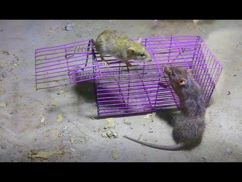 Live Capture Mouse Trap | Live Rat Traps