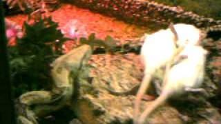 Hugo äter råttor
