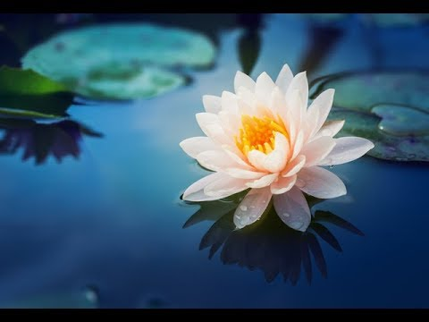 What is lotus flower where does it grow youtube what is lotus flower where does it grow mightylinksfo