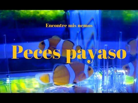 ya-hay-peces-payaso-buscando-a-nemo-nemos-encontrados