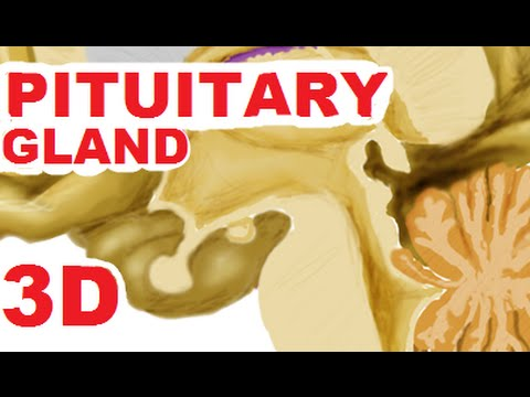 Hypothalamus And Pituitary Gland (Hypophysis) With HPA axis