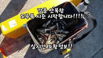 (번개영상) 실시간 조황정보! 강릉 안목항 도루묵 입성!!