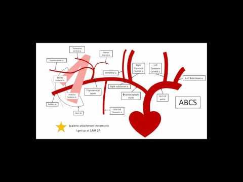 Gross Anatomy - Upper limb vasculature