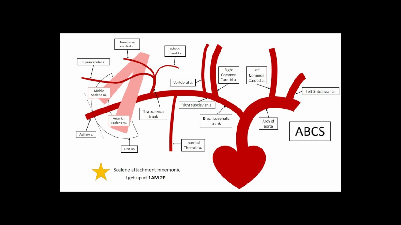 Gross Anatomy - Upper limb vasculature - YouTube