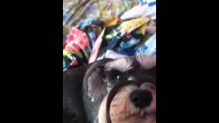 Whiny Miniature Schnauzer Desperate For Attention