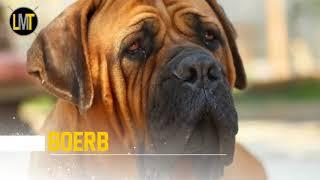 8 Razze Di Cani Più Letale Che Vinciano il PitBull.mp4