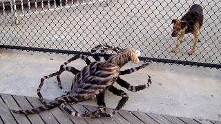 Mutant Giant Spider Dog Prank Part 2