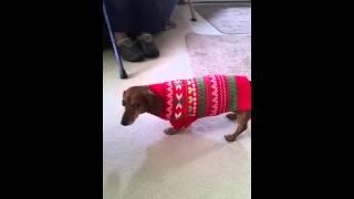 Gabby's (my Dachshund) New Christmas Sweater