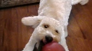 Rhett Barkley World Famous Goldendoodle Channel Trailer