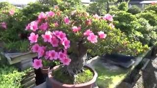 Azalea Bonsai. Beatiful Blossom.