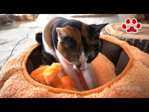 みけ と らな。かぼちゃをこねる【瀬戸の猫部屋日記】Cute motion cats, Mi ke and Lana knead the pumpkin Cats room Miaou