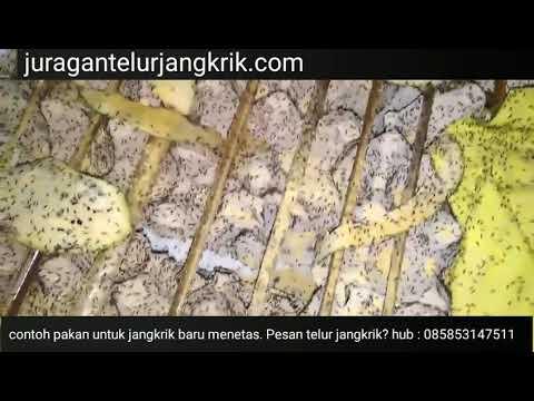 Contoh Pakan Untuk Jangkrik Baru Menetas Pesan Telur Jangkrik
