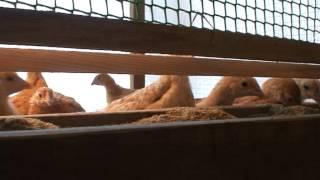 Цыплята породы Царскосельская, возраст 1мес(Цыплята Царскосельские из ЛПХ Медведевых