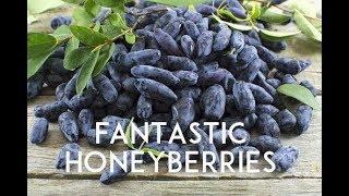Honeyberries: The Next BEST Thing in Fruit