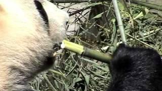 Young Panda eating bamboo at YA AN BI FENG XIA Base in Min Shan Mountains in Sichuan, China