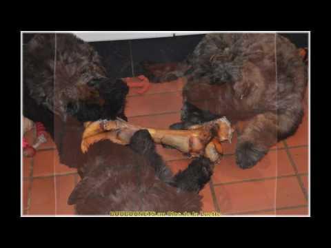 CHIOTS BOUVIER DES FLANDRES - HISTOIRE D'OS - BONE HISTORY