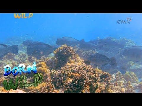 Born To Be Wild: The Elusive School Of Bumphead Parrotfish