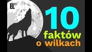 10 faktów o wilkach