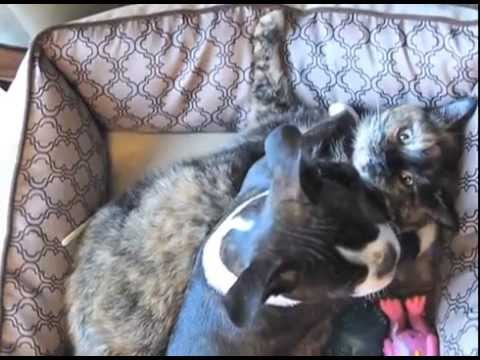 Lily the Cat Gets a Boston Terrier Puppy
