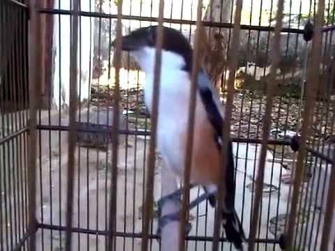 Pentet Madura Lepas Trotol Youtube