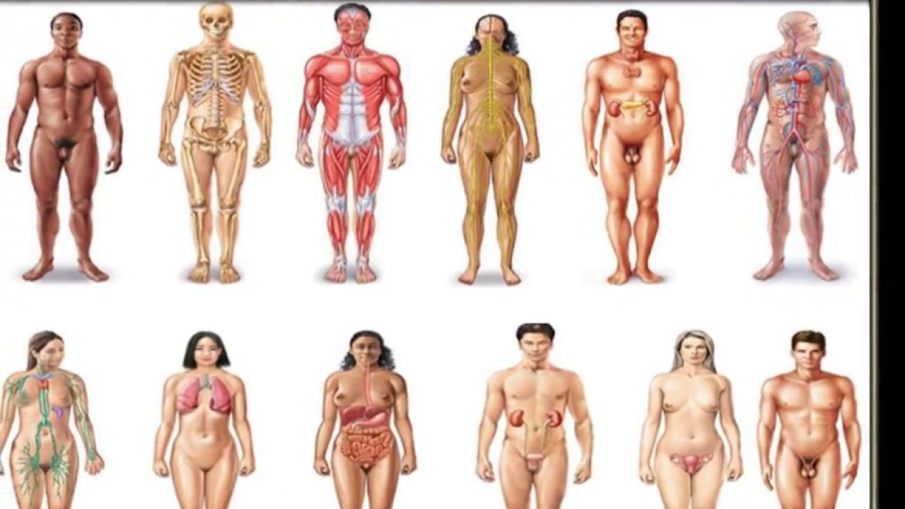 Organ Systems Of The Body Muscular Urinary Nervous Endocrine