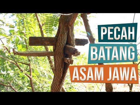 Pecah Batang Bahan Bonsai Asam Jawa (Tamarindus indica) Sebelum di Cangkok