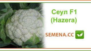 Сеул F1 цветная капуста (Hazera) Культура в поле