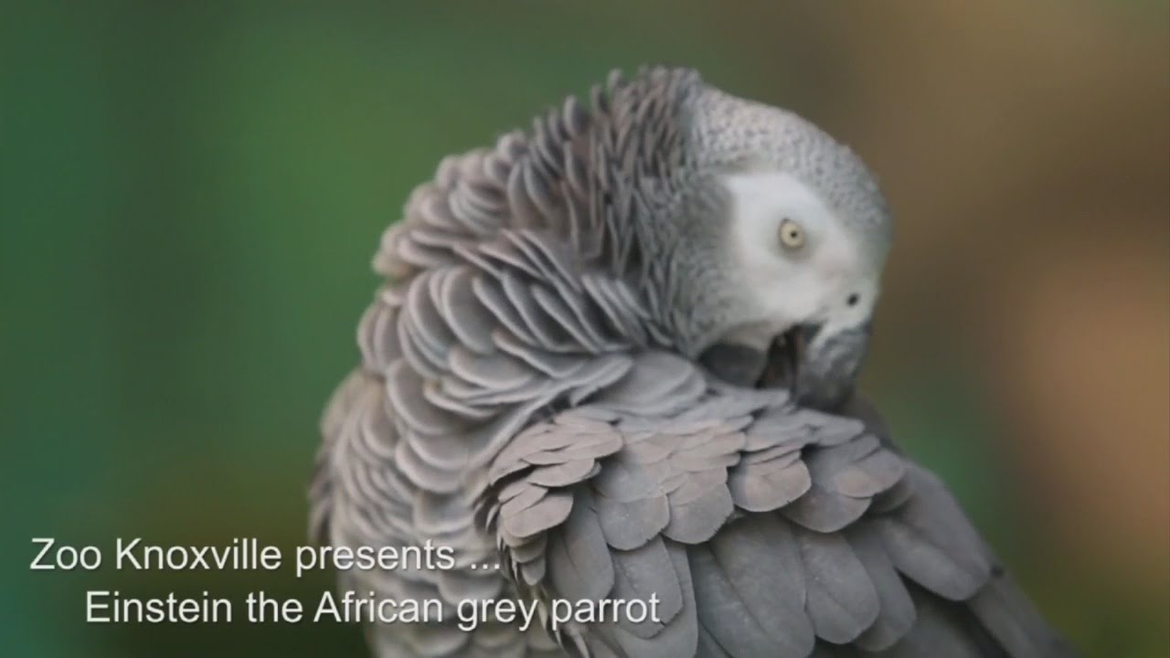 Zoo Knoxville celebrates African grey parrots 30th birthday YouTube