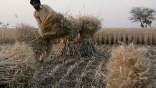 Harvesting of Wheat & Farmer's Life - Documentary