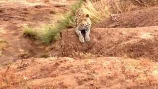 Hyena and Leopard scare each other  (at Mashatu, Tuli Block, Botswana - April 2014)