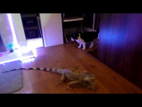 Iguana and cat meet for the first time