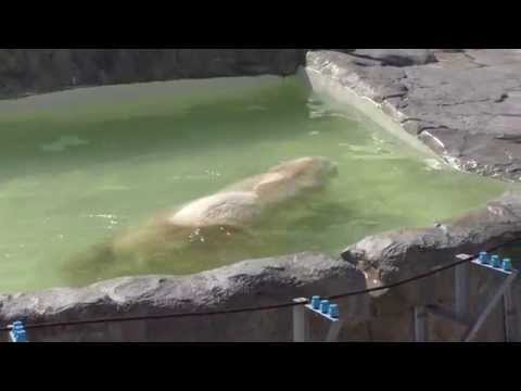 Denali the polar bear relaxes himself in the water, at Sapporo Maruyama Zoo, Japan