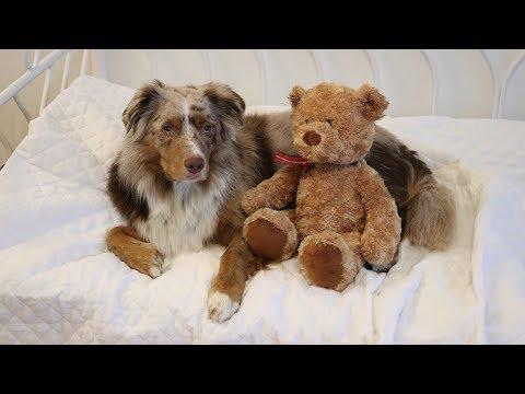 Dog Packing for a Trip | Pekka the Australian Shepherd