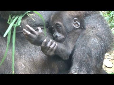 ('19/6/29)生後192日〜キンタロウ日記-3⭐️ゴリラ【京都市動物園】baby-gorilla-kintaro-diary-3