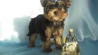 Продажа Йоркширский терьер мальчик - Собаки маленьких пород