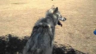 My High Content Wolfdog Echo at the Dog Park