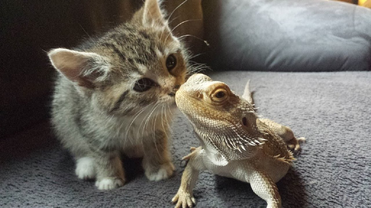 Cute Pet and Bearded dragon meeting for the first time | Funny Everyday Compilation