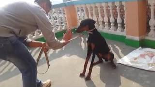 Advanced And Basic Obedience Training /doberman Pinscher Off Leash Obedience Training