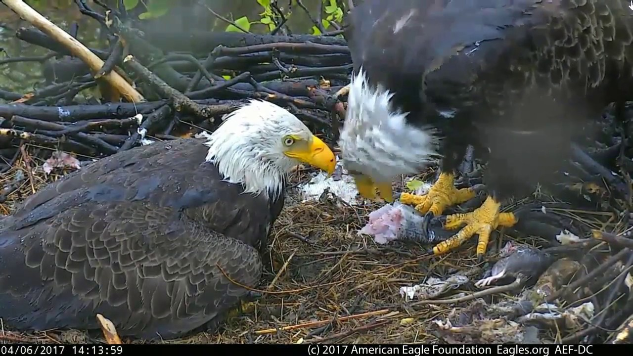 DC EAGLE CAM 4-6-17: We're In This Together - YouTube