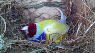 Yellow Gouldian Finches