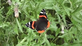 Admiral Schmetterling lässt sich streicheln