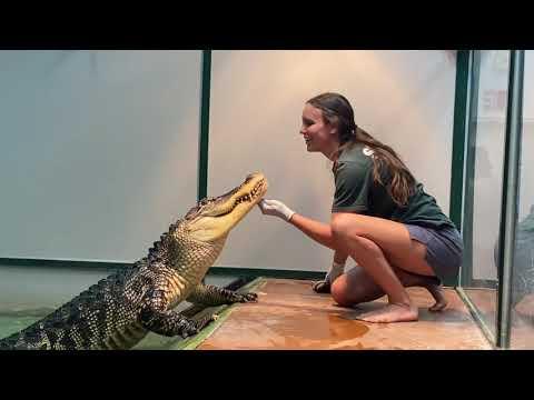 Alligator-Training-Darthgator-is-a-bad-boy
