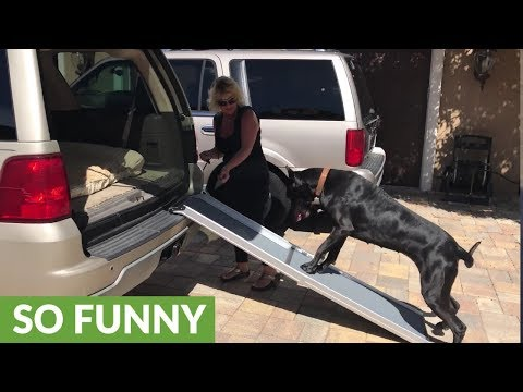 Dog teaches puppy to climb into an SUV