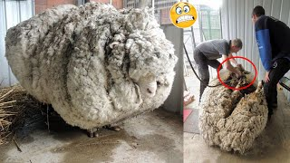 A Ram Ran Away For 5 Years || Animals that Broke World Records