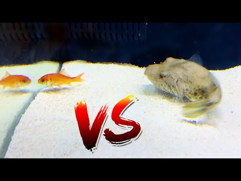 Pufferfish Vs Pet Goldfish! *Epic Battle Royale*