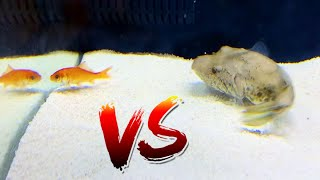 pufferfish-vs-pet-goldfish-epic-battle-royale