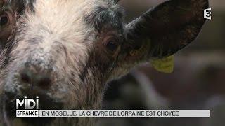 ANIMAUX : En Moselle, la chèvre de Lorraine est choyée