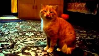 Кот смешно чихает